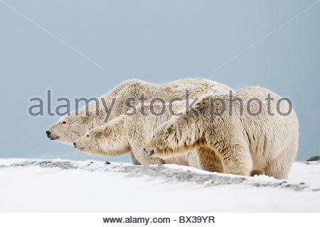Une mère et deux ans d'oursons de résister à un étrange ours le long de la côte de la mer de Beaufort dans la réserve Banque D'Images
