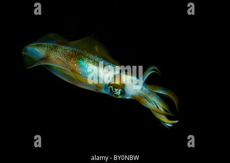 Reef Squid la nuit, Alam Batu, Bali, Indonésie Banque D'Images