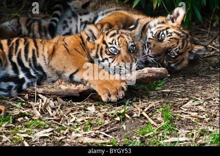 Deux mignon tigre de Sumatra d'Oursons jouant sur le sol forestier Banque D'Images