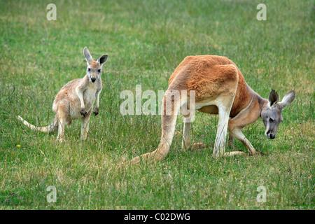 Kangourou rouge (Macropus rufus), les femmes adultes et les jeunes, l'alimentation, de l'Australie Banque D'Images