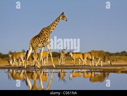 La girafe et l'éland au waterhole, Etosha National Park, Namibie. Banque D'Images