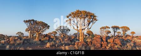 Quiver Tree(Aloe dichotoma) au coucher du soleil Banque D'Images