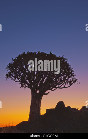Quiver Tree ou Kokerboom (Aloe dichotoma) est une espèce d'aloès originaire d'Afrique du Sud Banque D'Images