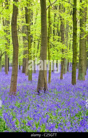 Bluebells(Hyacinthoides non-script) en hêtre (Fagus sylvatica) bois, Hertfordshire, England, UK Banque D'Images