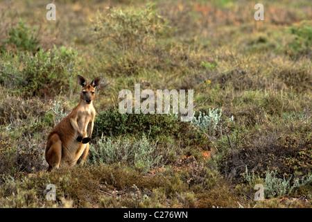 Portrait de kangourou, Cape Range National Park, Exmouth Australie Occidentale Banque D'Images
