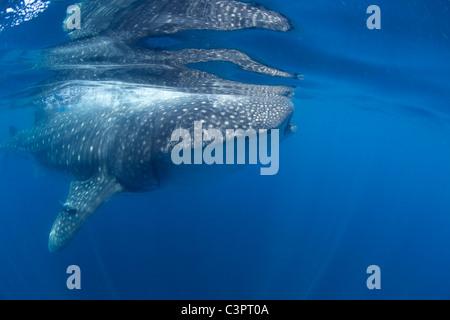 Weda d'un requin-baleine dans la tête de Holbox, Mexique. Banque D'Images