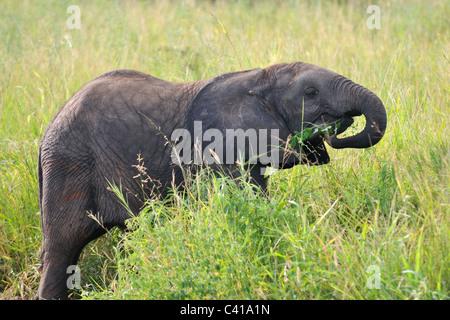 Bébé éléphant africain mange de l'herbe dans le parc national de Tarangire, Tanzanie Banque D'Images