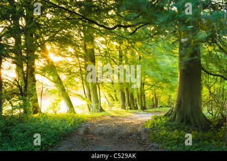 La voie à travers les hêtraies, près de East Clandon, North Downs, Surrey, UK. Banque D'Images