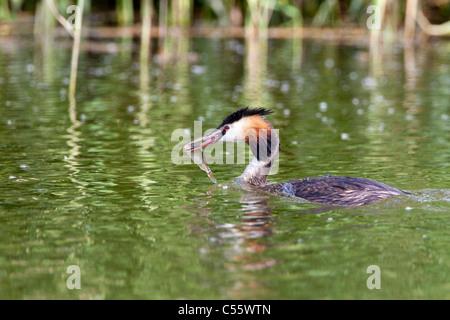 Les Pays-Bas, Amsterdam, le parc national De Biesbosch. Grèbe huppé Podiceps cristatus,, avec le poisson. Banque D'Images