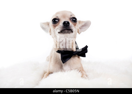 Portrait of cute Chihuahua avec les yeux grand ouverts wearing neck tie against white background Banque D'Images