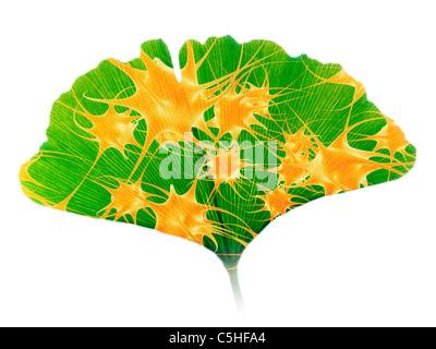 Le ginkgo et les cellules nerveuses Banque D'Images