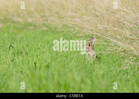 Lapin sauvage au bord du champ, l'été, North Yorkshire, uk Banque D'Images
