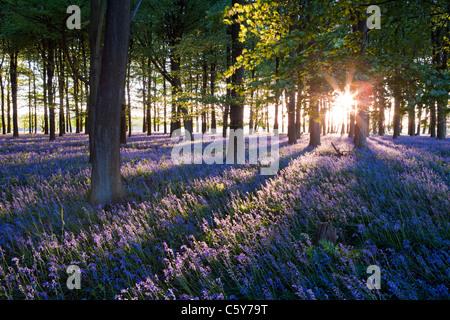 Bluebells avec rayons de soleil venant à travers des arbres au coucher du soleil dans une forêt dans le Kent, UK. Banque D'Images