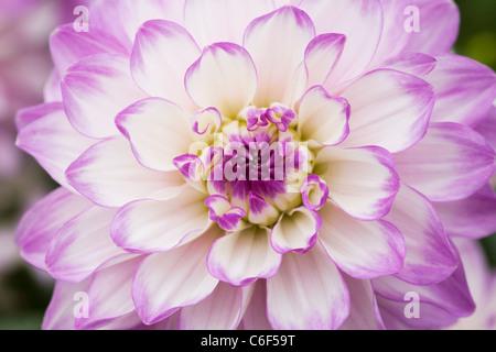 Dahlia 'Audacity'. Close up of flowerhead. Banque D'Images