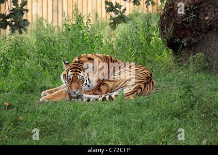 Amur ou tigre de Sibérie (Panthera tigris altaica) à Yorkshire Wildlife Park Banque D'Images