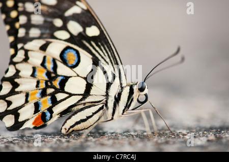 Papilio demoleus . Papillon de chaux Banque D'Images