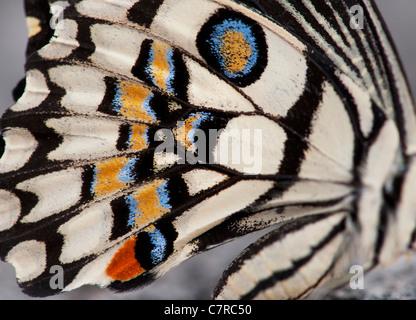 Papilio demoleus . Motif aile de papillon citron vert Banque D'Images