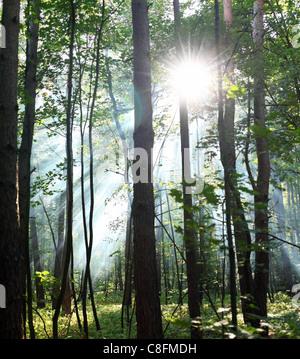 Rayons de soleil à travers les arbres dans la forêt. Banque D'Images