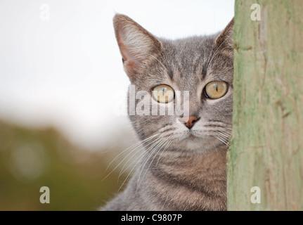 Bleu tabby cat peeking de derrière un poteau de clôture Banque D'Images