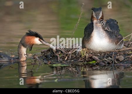 Grèbe huppé (Podiceps cristatus). Alimentation Adultes Poussins sur son nid. Banque D'Images