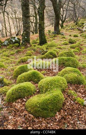 Des rochers couverts de mousse dans les bois près de Peanmeanach bothy, Lochaber, Ecosse, Lochailort. Banque D'Images