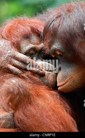Orang-outan, l'orang-outan, l'orang-outang (Pongo pygmaeus), hugging Banque D'Images