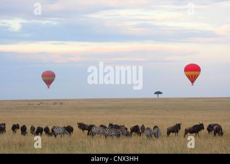 Balloon safari dans le Masai Mara avec zèbres et wildbeests, Kenya, Masai Mara National Park Banque D'Images