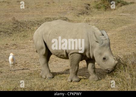 Le rhinocéros blanc veau avec héron garde-boeuf par c Banque D'Images