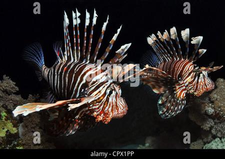 Deux poissons lion dans la mer Rouge, Egypte Banque D'Images