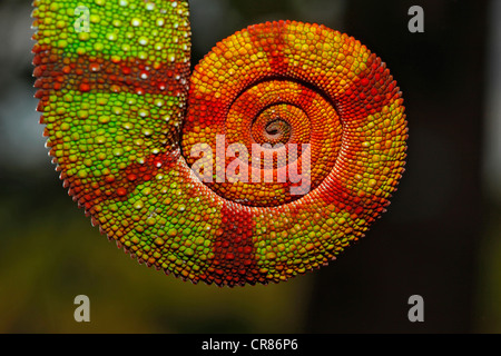 Queue enroulée d'un caméléon panthère (Furcifer pardalis), Ambilobe-Ambilorama la variation de couleur, Ambilobe, Banque D'Images