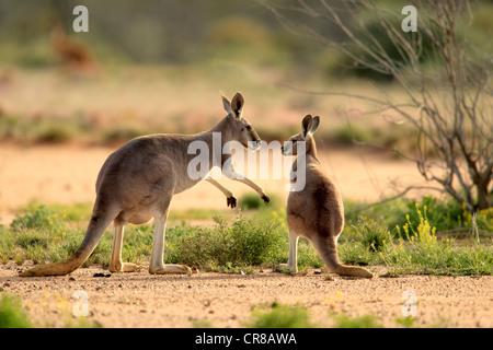 Kangourou rouge (Macropus rufus) et les jeunes femmes adultes, Burnley, Sturt National Park, New South Wales, Australie Banque D'Images