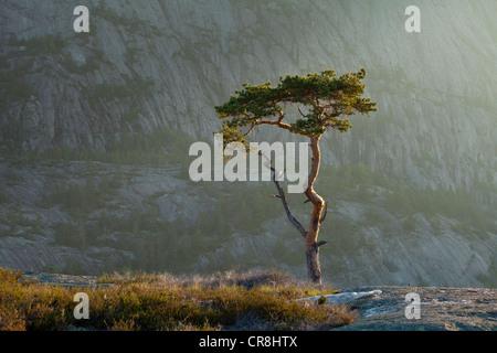 Pine Tree à l'aube à Måfjell in Nissedal, Telemark fylke, la Norvège. Banque D'Images