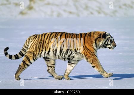 Tigre de Sibérie (Panthera tigris altaica), dans la neige, de la Sibérie Tiger Park, Harbin, Chine Banque D'Images