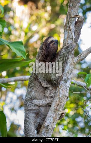 Trois-toed sloth (Bradypus variegatus) la mère et l'enfant qui se nourrissent de Isla Carenero, Bocas del Toro, Banque D'Images