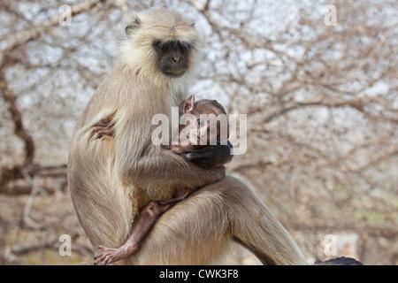 Gray langur Hanuman langur / animaux singe (Semnopithecus) avec bébé, le parc national de Ranthambore, Sawai Madhopur, Banque D'Images