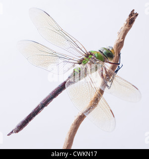 Dragonfly close up Banque D'Images