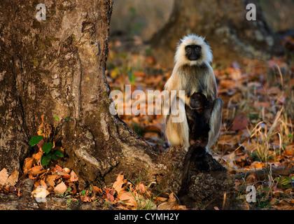 Les Langurs Hanuman avec cub sous un arbre. L'Inde. Langurs gris ou langurs Hanuman, (Semnopithecus animaux singe) Banque D'Images