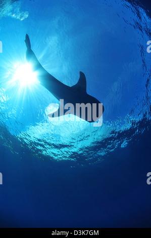 Requin-baleine près de surface avec les rayons du soleil, l'île de Noël, de l'Australie. Banque D'Images