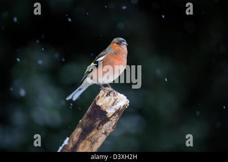 (Fringilla coelebs chaffinch mâle) perché sur une vieille branche lors d'une tempête de neige. Banque D'Images
