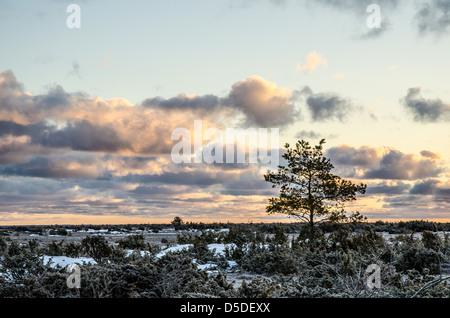 Un pin au lever du soleil un matin glacial dans la grande plaine de l'Alvar, un paysage unique sur l'île de Oland Banque D'Images
