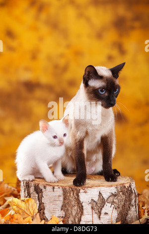 Classic chat siamois, seal-point, avec chaton, cannelle-point Banque D'Images