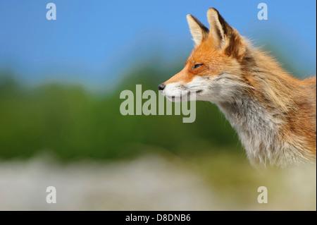 Le renard roux, Vulpes vulpes, lauvsnes, Norvège Banque D'Images