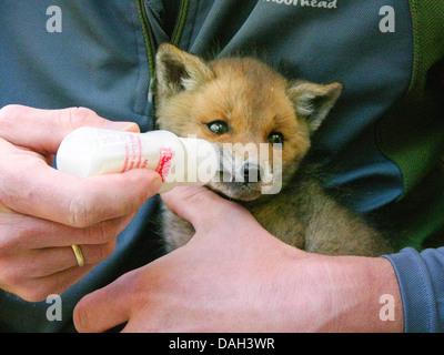 Le renard roux (Vulpes vulpes), être upbrought pour mineurs orphelins à la main, l'alimentation au biberon avec Banque D'Images