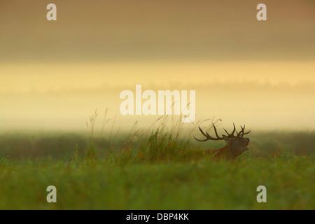 Stag en champ à l'aube Banque D'Images