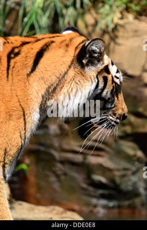= tigre de Sibérie Panthera tigris altaica Banque D'Images