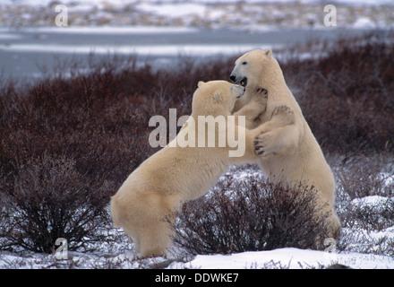 Les ours polaires playfighting près de Churchill Manitoba Canada Banque D'Images