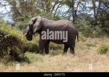Les jeunes éléphants femelle mange de l'herbe entre les arbres à Serengeti National Park, Tanzania, Africa Banque D'Images