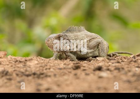 Stock photo d'un iguane vert, posés sur une plage dans le Pantanal. Banque D'Images