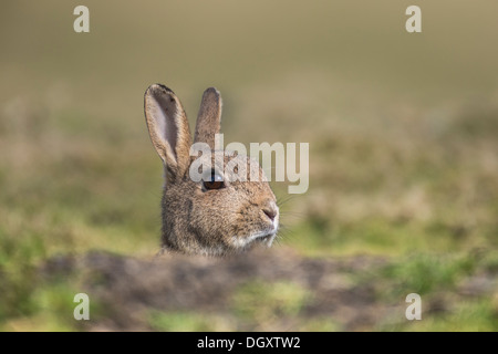 Adultes sauvages Lapin (Oryctolagus cuniculus) peering over tertre herbeux. Head Shot. Yorkshire Dales, North Yorkshire, Banque D'Images