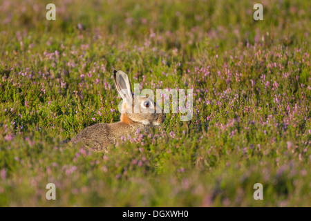 Lapin sauvage (Oryctolagus cuniculus) dans la lande de bruyère. Yorkshire Dales, North Yorkshire, Angleterre, Royaume Banque D'Images